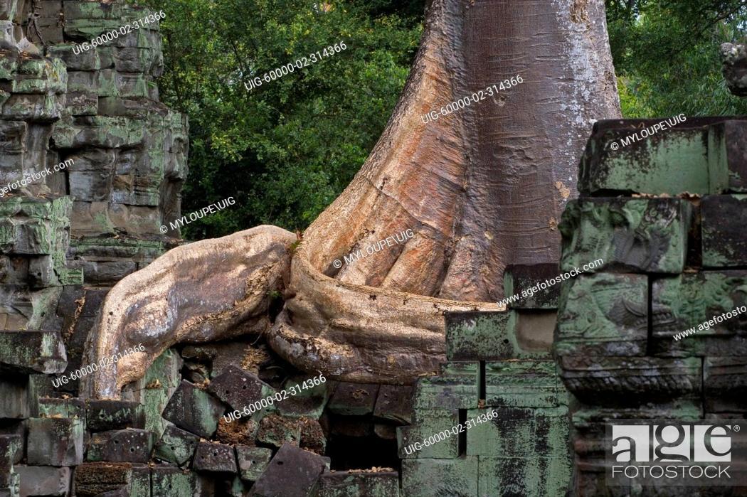 Wat Is Kapok.A Silk Cotton Or Kapok Trees Ceiba Pentandra Grows In The