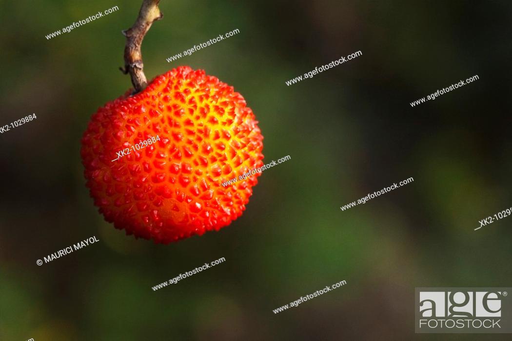 Stock Photo: deliciosa fruta del madroño.