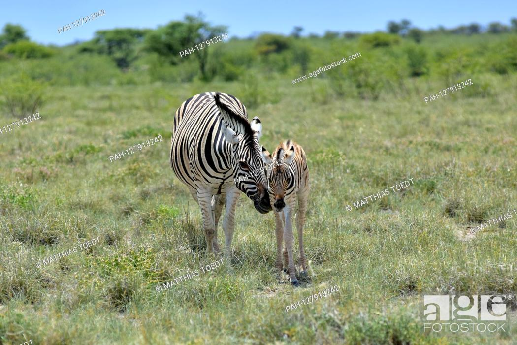 Stock Photo: Zebra mare (Equus quagga) with her foal in Etosha National Park, taken on March 5th, 2019. With more than 22, 000 square kilometers, the Etosha National Park.