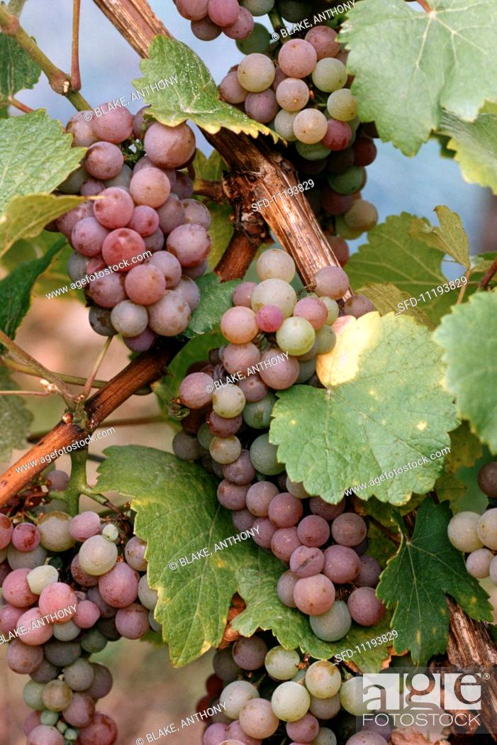 Stock Photo: Gewurztraminer grapes, Bergheim, Alsace.