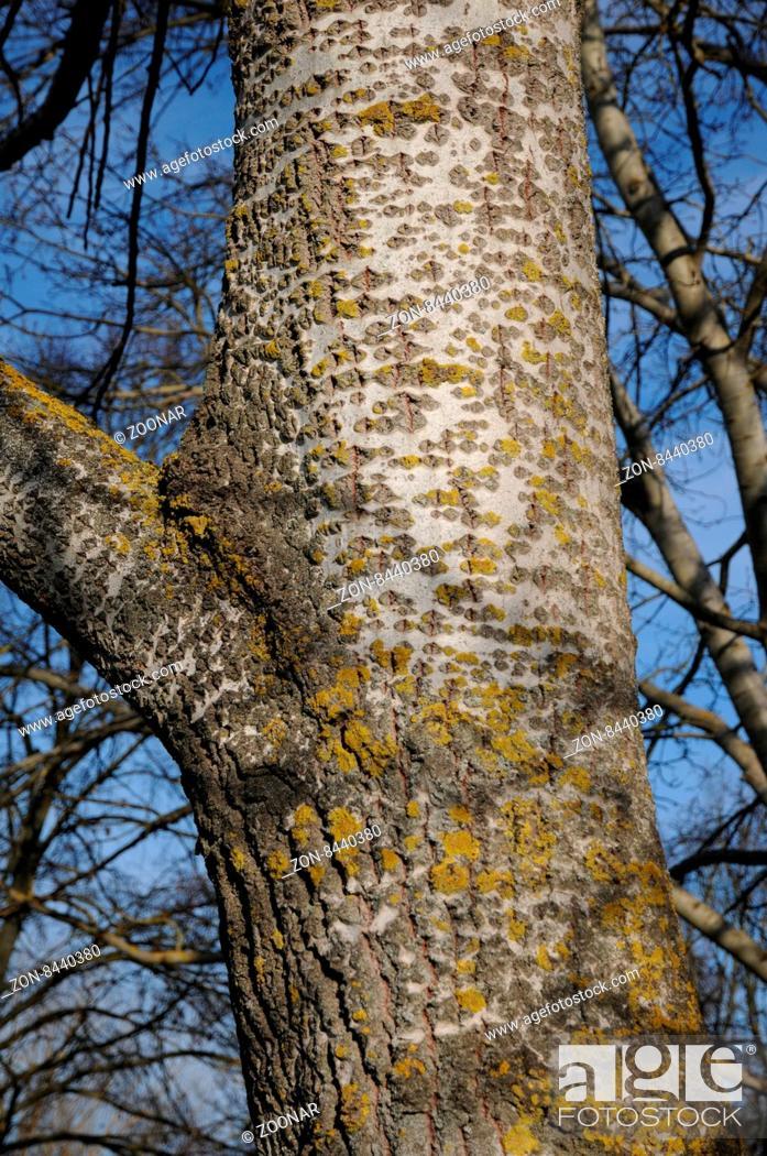 Stock Photo: Populus alba, Silberpappel, Silver poplar.