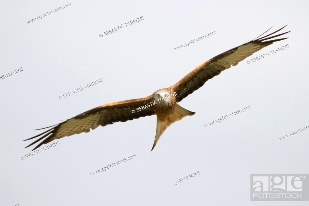 Stock Photo: Red Kite Milvus Milvus flying, Lleida, Spain.