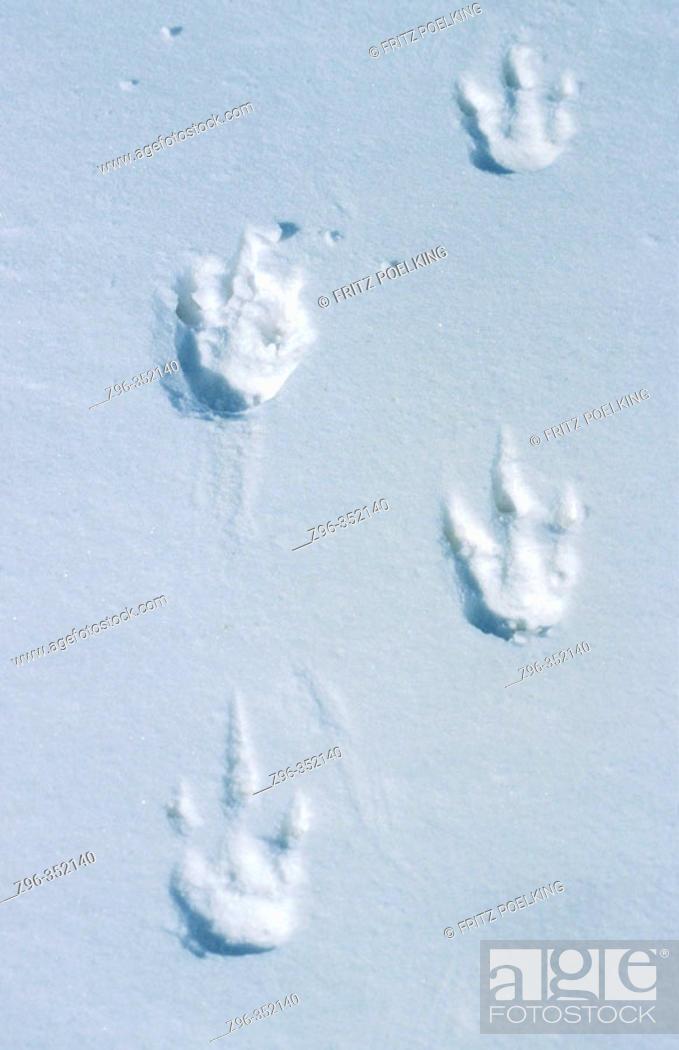 Stock Photo: Emperor Penguin (Aptenodytes forsteri). Dawson-Lambton glacier, Antarctica.