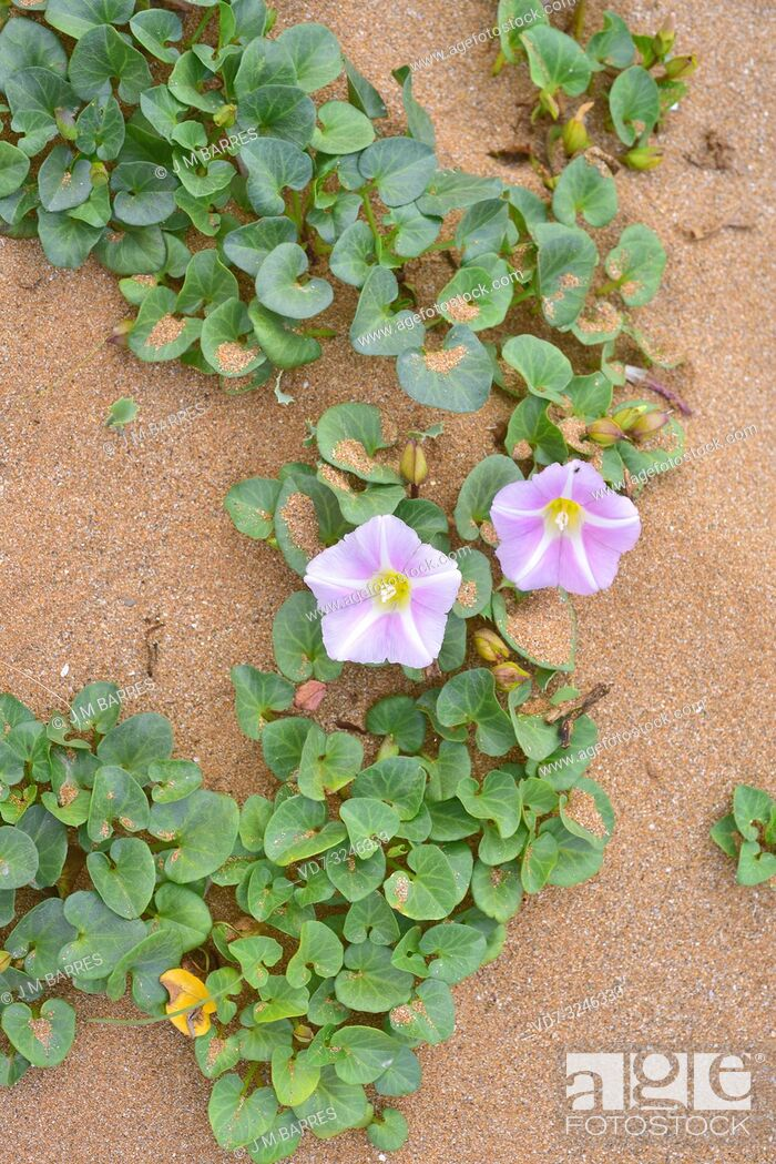 Stock Photo: Beach morning glory or shore bindweed (Calystegia soldanella or Convolvulus soldanella) is a perennial vine native to beach sand habitats in temperate regions.