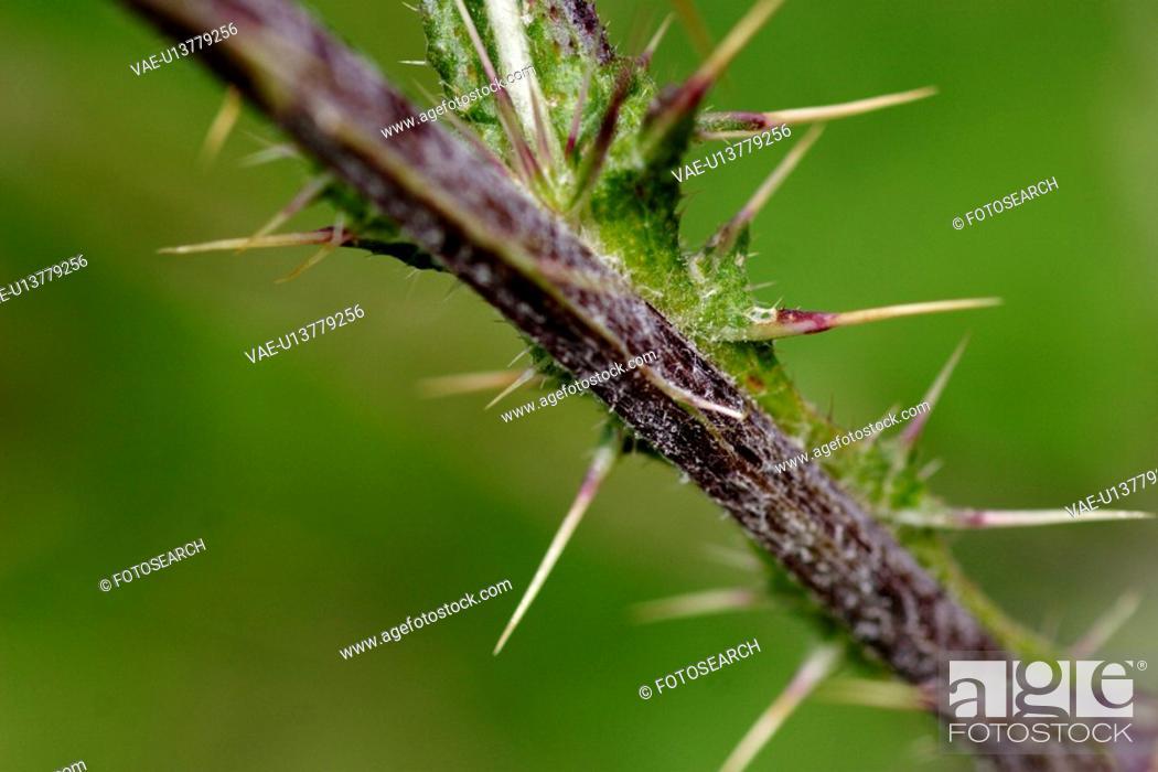 Stock Photo: glaubenberg, bergblume, grossaufnahme, alp, flower, gluupoog, green.