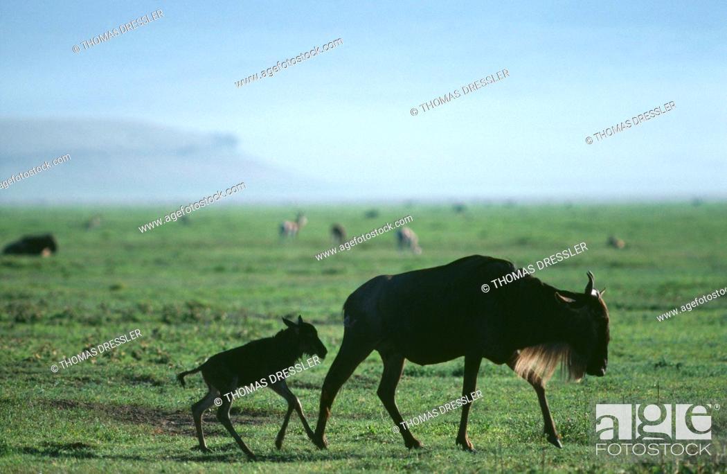 Stock Photo: White-Bearded Gnu / Wildebeest - cow & newborn calf (Connochaetes taurinus albojubatus).