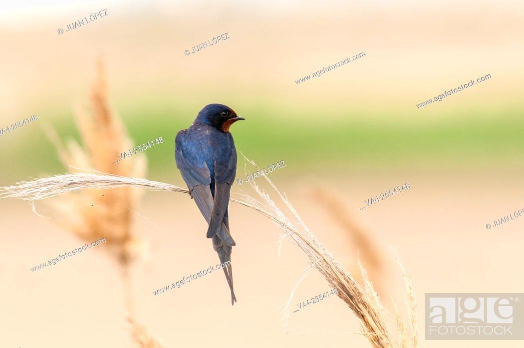 Stock Photo: Barn swallow Hirundo rustica. Ebro Delta, Catalonia, Spain.