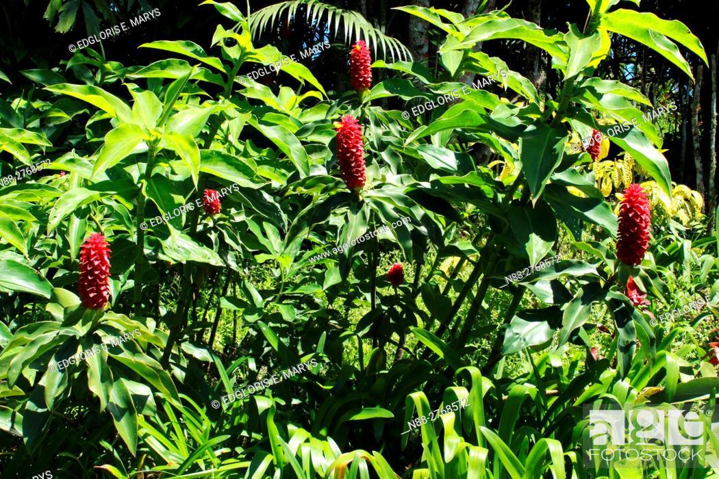 Stock Photo: Zingiberacea plants.