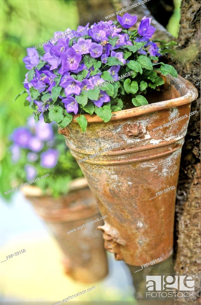 Stock Photo: Bell flower.