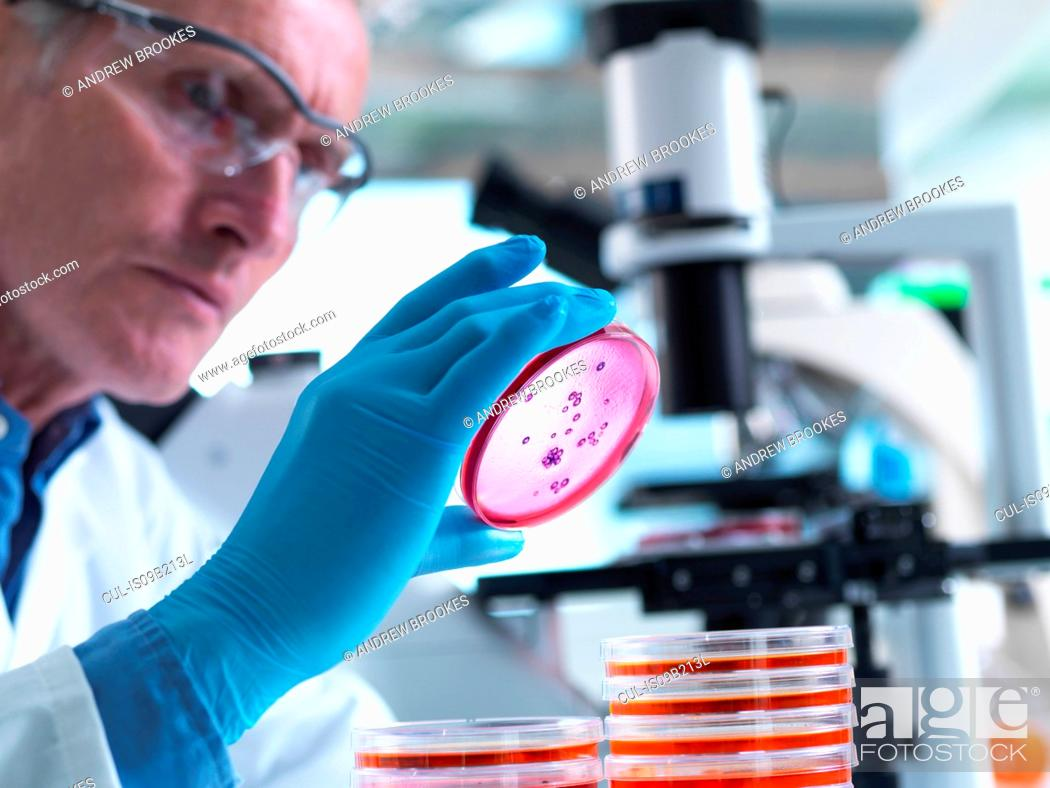 Stock Photo: Microbiology, Scientist using an inverted light microscope to view culture growth in petri dishes during an experiment in a laboratory.