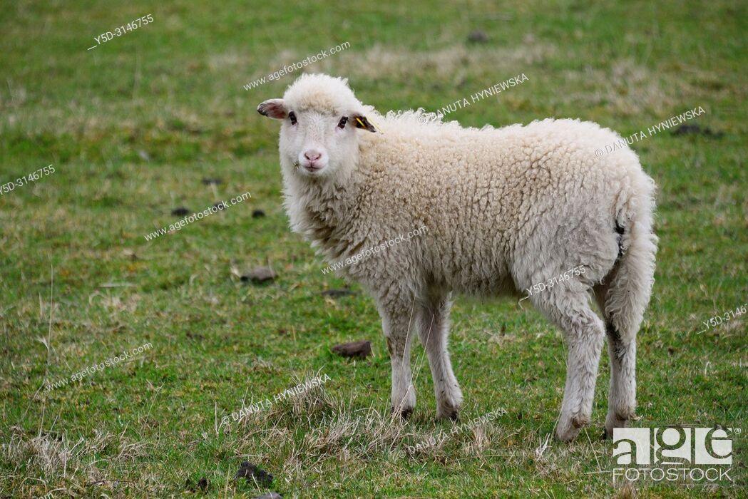 Stock Photo: Lamb on pasture, Parc Naturel Regional des Volcans d'Auvergne - Auvergne Volcanoes Natural Regional Park, Murol, Puy de Dome, Auvergne, Auvergne-Rhône-Alpes.