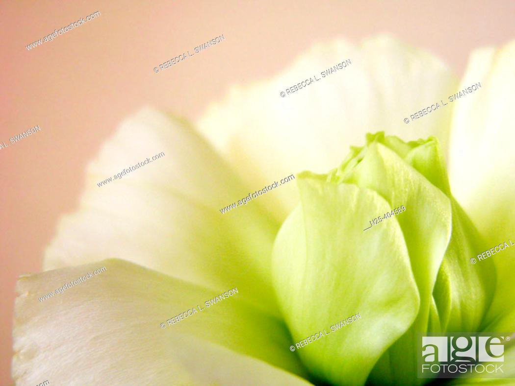 Stock Photo: Lisianthus Flower, Eustoma grandiflorum.