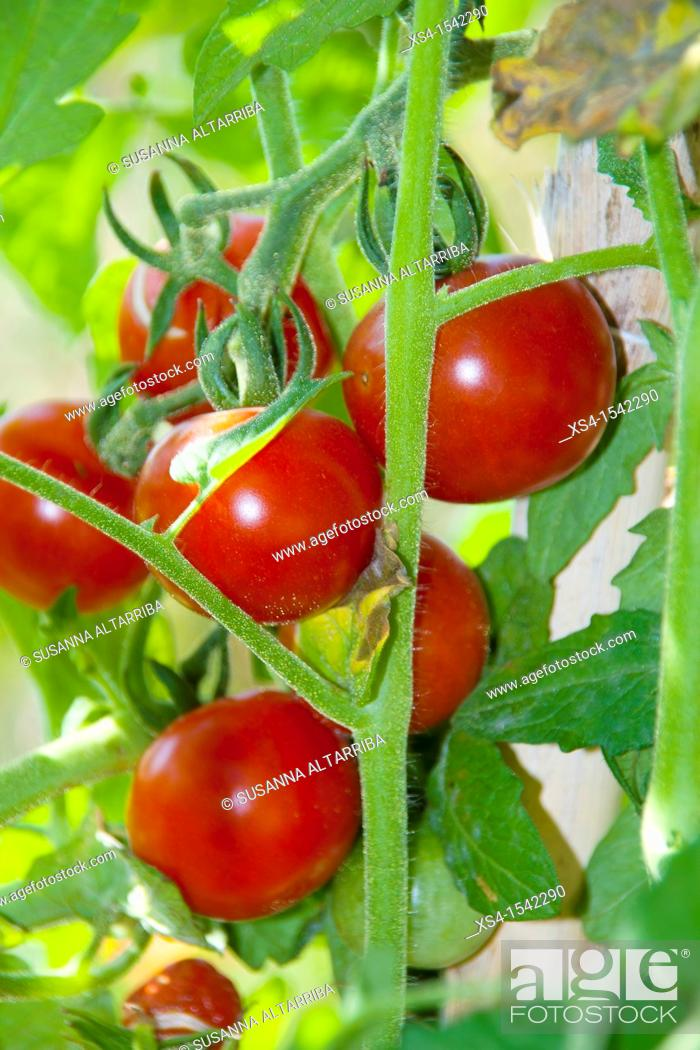 Stock Photo: Lycopersicon esculentum. Solanum lycopersicum. Tomatoes on a vine. Products from the orchard, without chemicals. Photo taken in Pinós, Lleida, Catalonia, Spain.