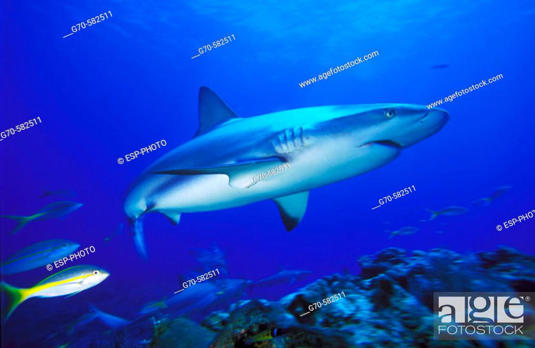 Stock Photo: Caribbean reef shark (Carcharhinus perezi). Bahamas.