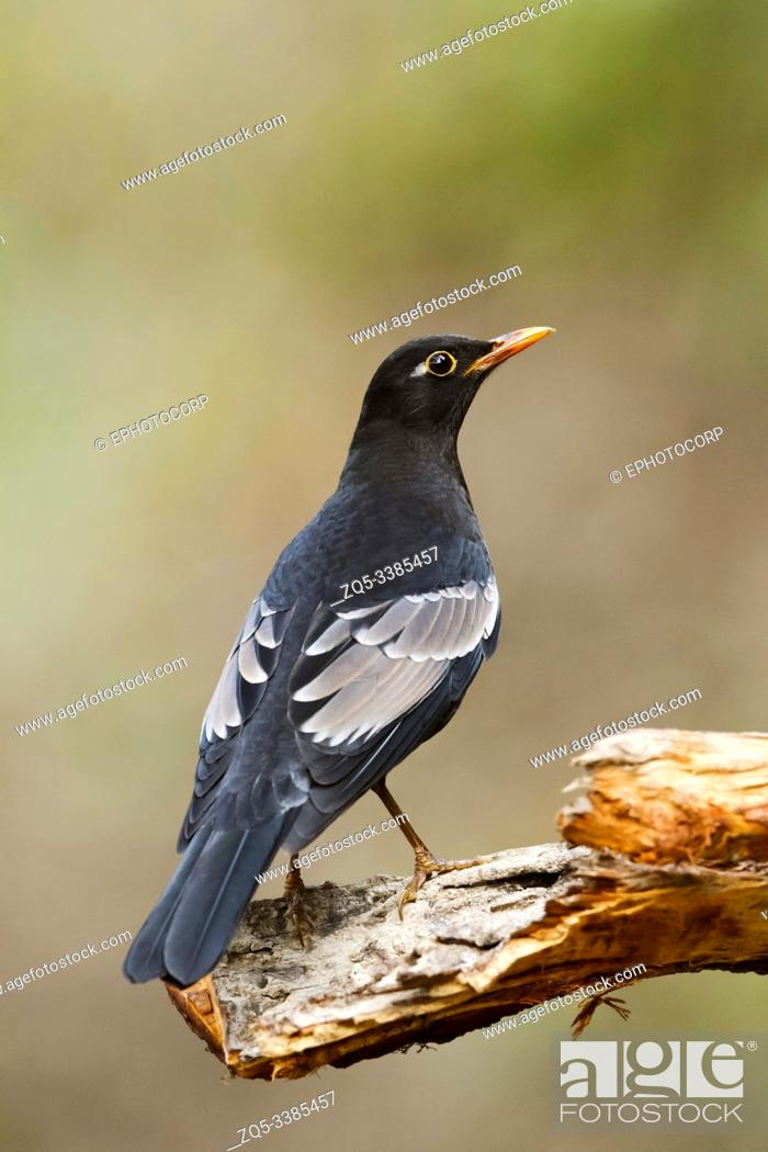 Stock Photo: Grey winged blackbird, male, Turdus boulboul at Sattal in Nainital, Uttarakhand, India.