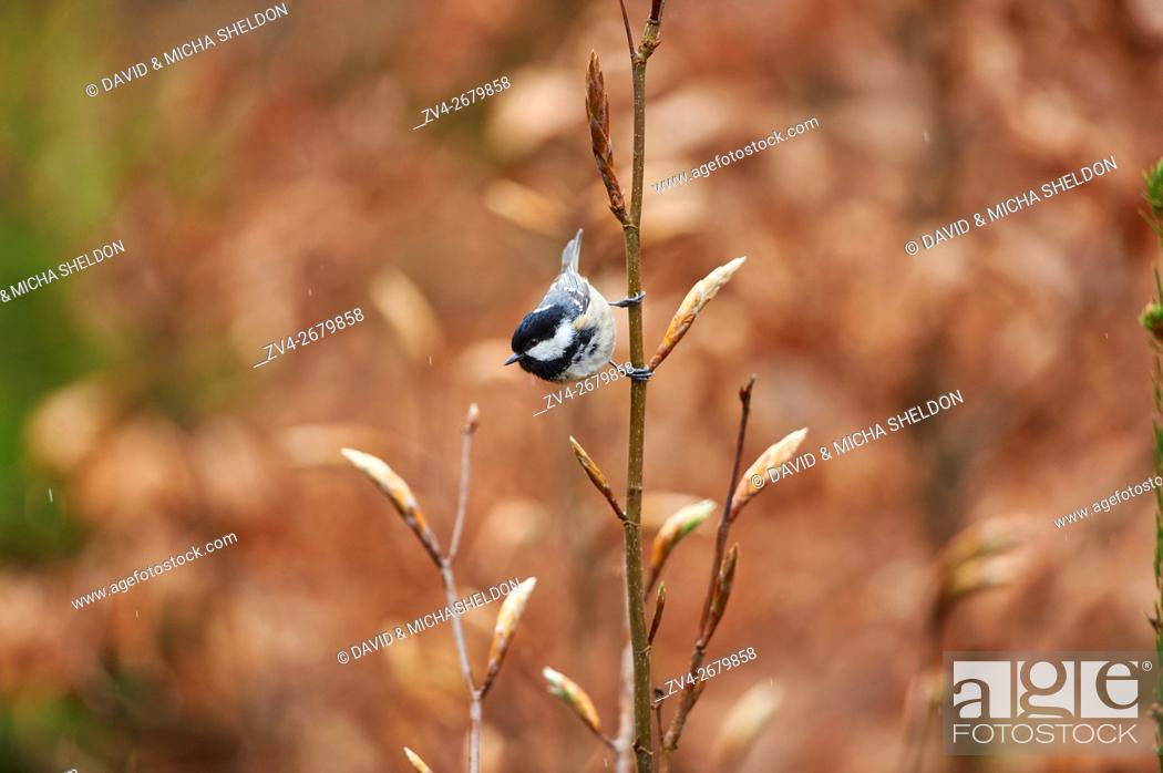 Photo de stock: Close-up of a coal tit (Periparus ater) in the bavarian forest in spring.