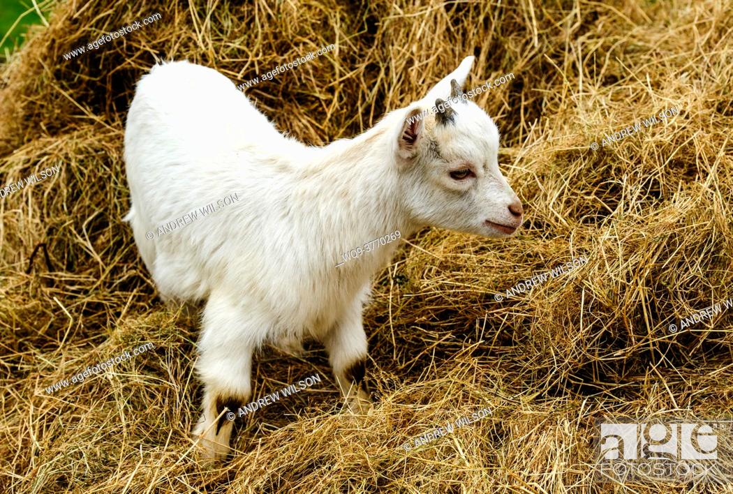 Stock Photo: A young Pygmy Goat.