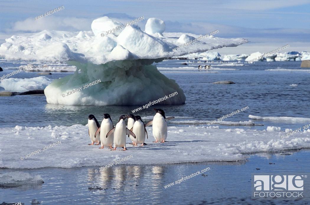 Stock Photo: Adelie Penguins (Pygoscelis adeliae) on ice floe, Devil's Island, Weddell Sea, Antarctic Peninsula, Antarctica.