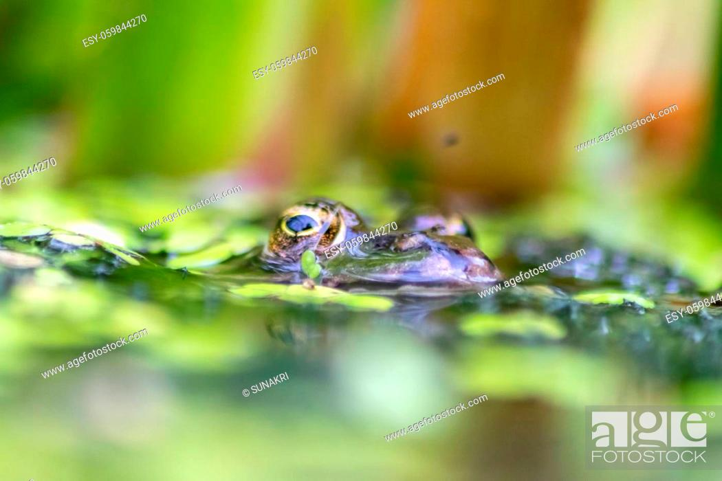 Stock Photo: Big green frog lurking in a pond for insects like bees and flies in close-up-view and macro shot shows motionless amphibian with big eyes in a garden pond as.