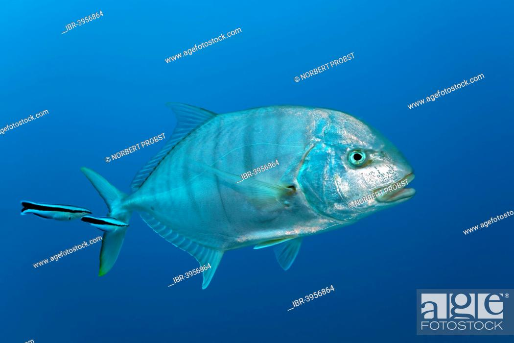 Stock Photo: Blue trevally (Carangoides ferdau), with Bluestreak cleaner wrasses (Labroides dimidiatus), Red Sea, Makadi Bay, Hurghada, Egypt.