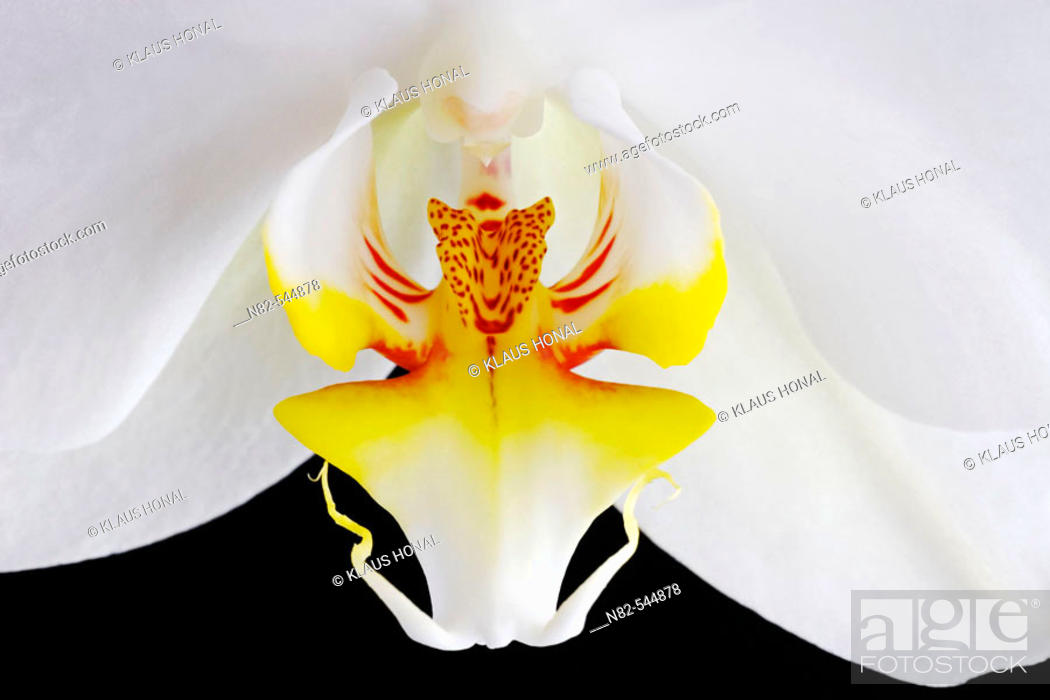 Stock Photo: Orchid blossom close up - cultigen.