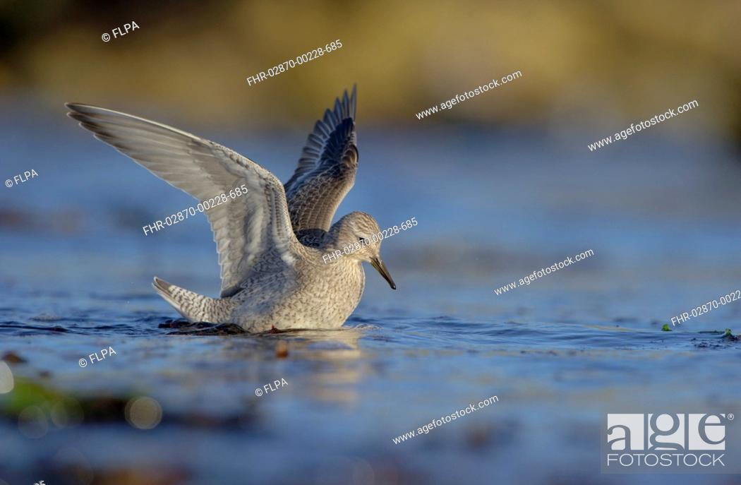 Stock Photo: Knot Calidris canutus adult, winter plumage, foraging in shallow water on beach, preparing to leap into air to escape onrushing water, Shetland Islands.