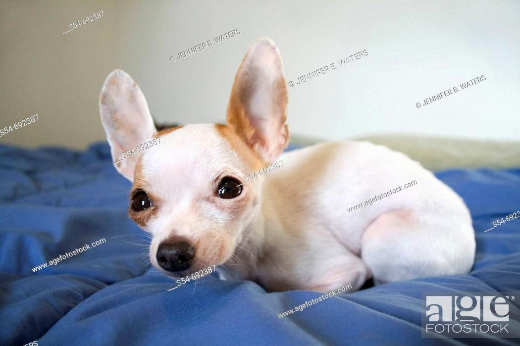 Stock Photo: An adult female Chihuahua on a bed, closeup with wide angle view.