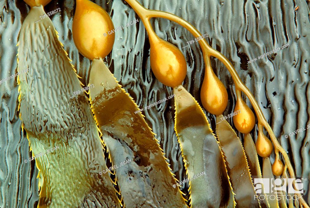 Stock Photo: USA, CA, Catalina, Pacific ocean. Young kelp blade, Macrocystis.