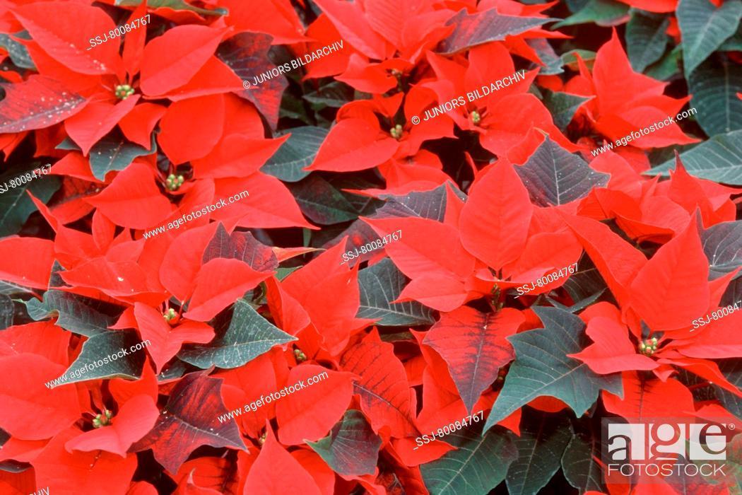 Stock Photo: DEU, 2003: Poinsettia (Euphorbia pulcherrima), variety: Jesper Red .