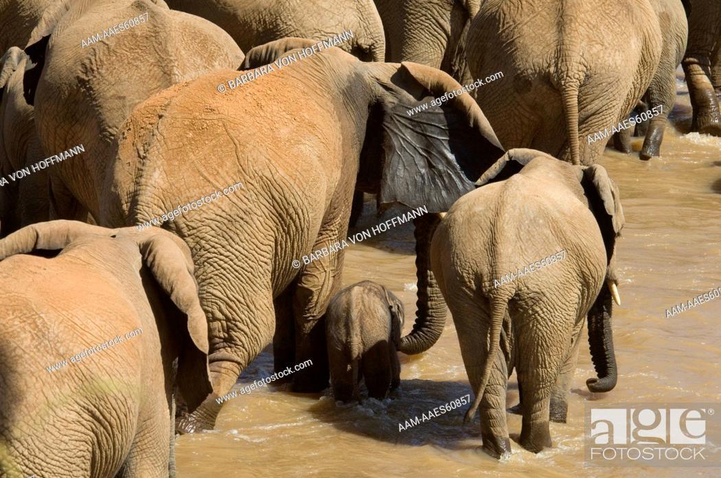 Stock Photo: Elephants in Uaso Nyiro River (Loxodonta africana), Samburu National Reserve, Kenya.