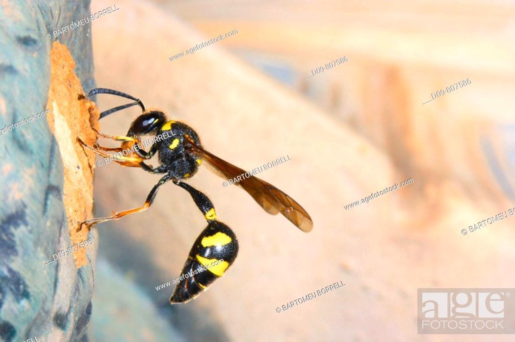 Stock Photo: Wasp (Eumenes coarctatus) building its nest with mud.