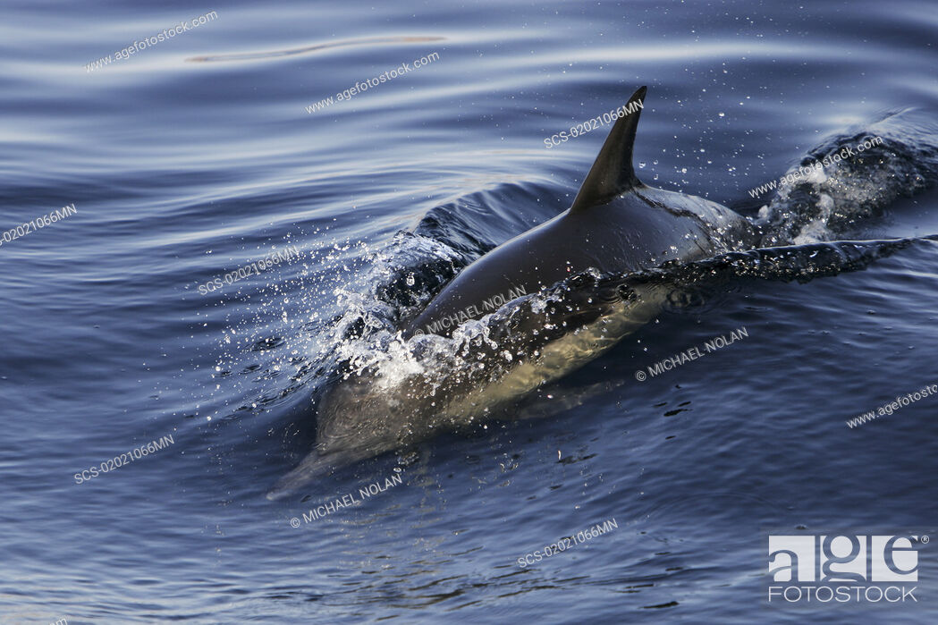 Stock Photo: Long-beaked Common Dolphin Delphinus capensis surfacing in the Gulf of California Sea of Cortez, Mexico.