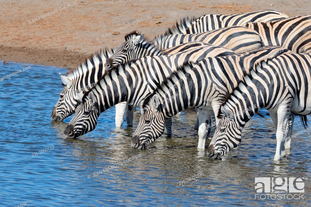 Stock Photo: Herd of Burchell's zebras (Equus quagga burchellii) with zebra foal drinking at waterhole, Etosha National Park, Namibia, Africa.