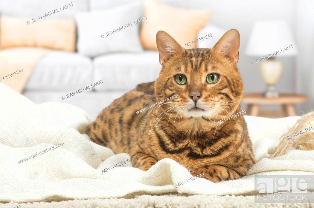 Imagen: Bengal Cat.