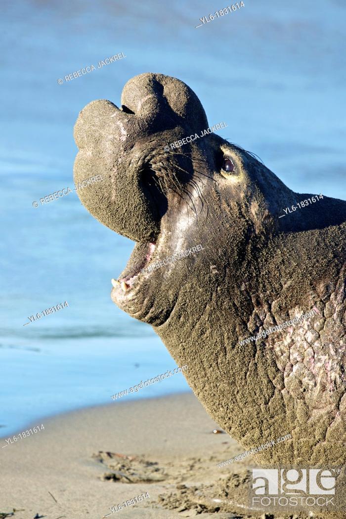 Stock Photo: North America, USA, California, San Simeon  Northern Elephant Seal.