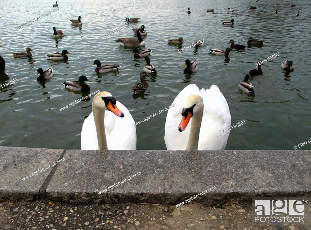Stock Photo: A pair of swans in a lake in Brooklyn, NY.