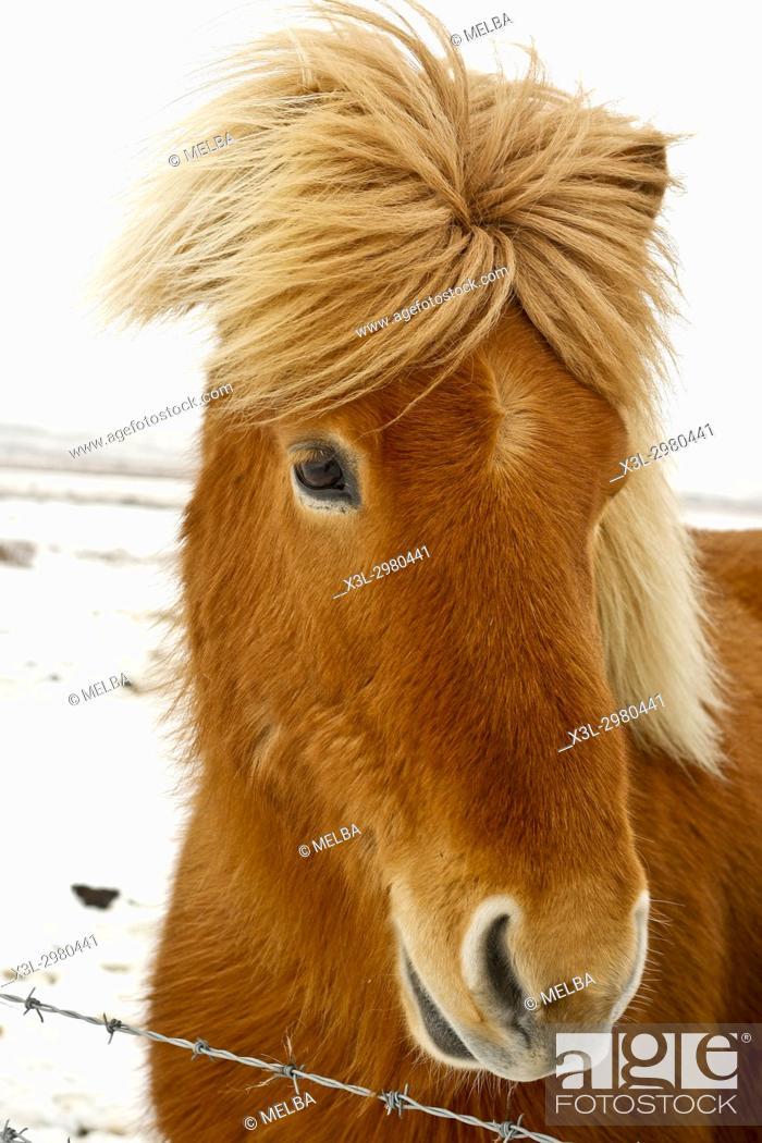 Stock Photo: Iceland horse.