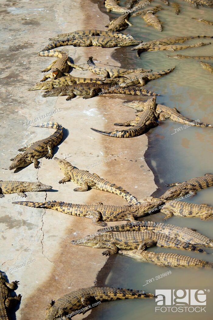 Stock Photo: Group of Nile Crocodiles (Crocodylus niloticus), Agatha Crocodile Ranch, Agatha, Tzaneen district, Limpopo province, South Africa.
