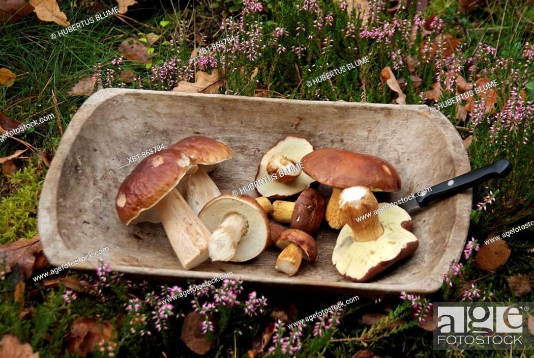 Stock Photo: Penny bun (Boletus edulis), edible fungi.