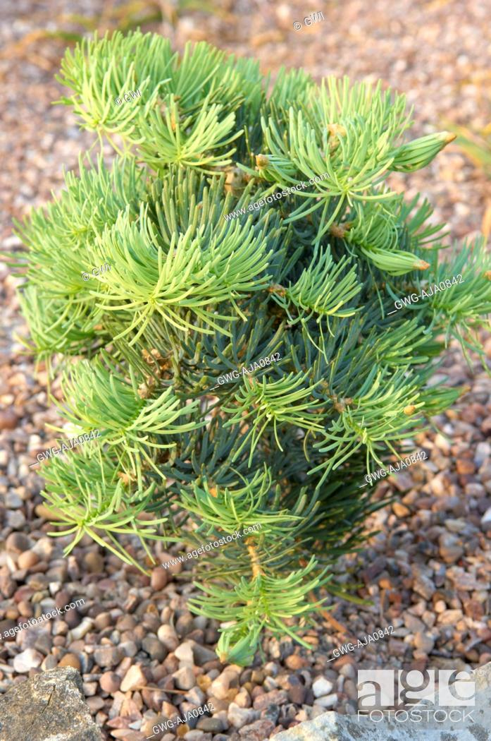 Abies Concolor Compacta Stock Photo Picture And Rights Managed