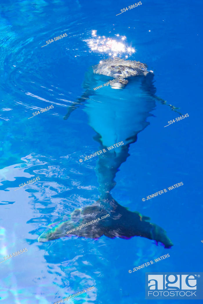 Stock Photo: An Atlantic Bottlenose Dolphin underwater.  Tursiops truncatus.