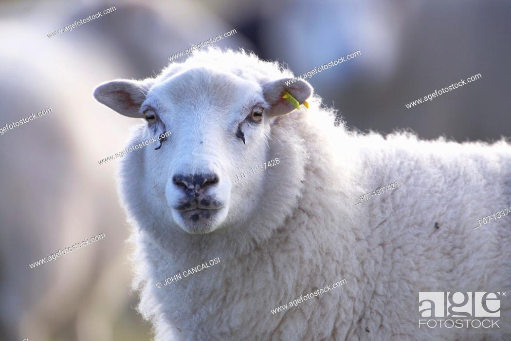 Stock Photo: Suffolk sheep - Ovis aries - UK.