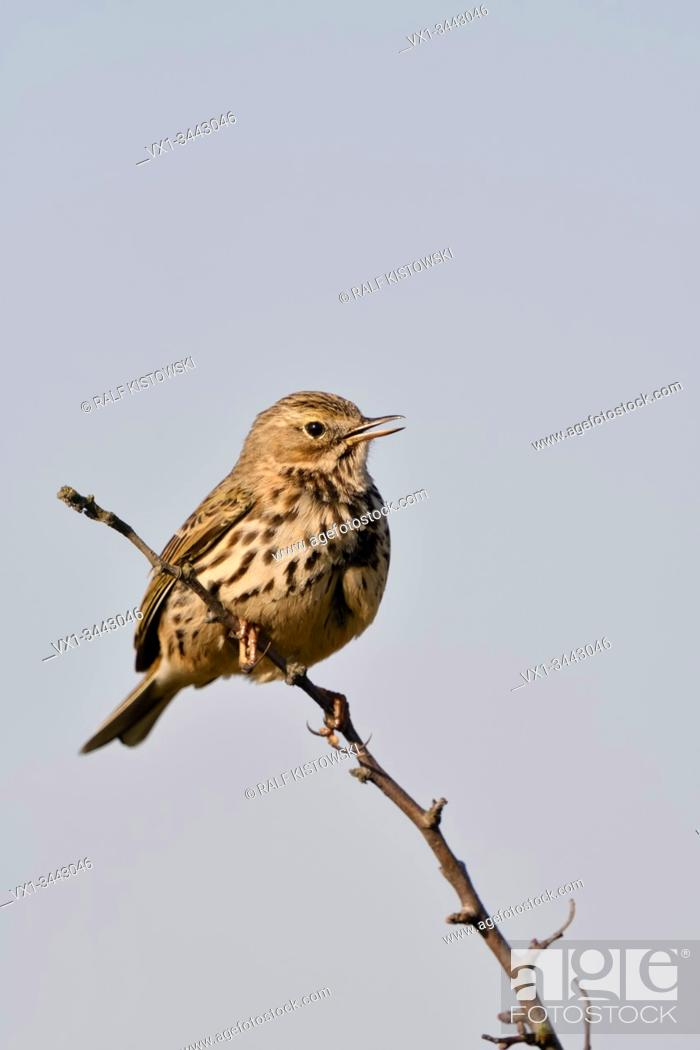 Stock Photo: Meadow Pipit / Wiesenpieper ( Anthus pratensis ) perched on top of brnahc of a bush, singing its song, courting, wildlife, Europe.