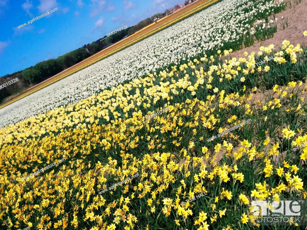 Stock Photo: Dutch tulip fields II.