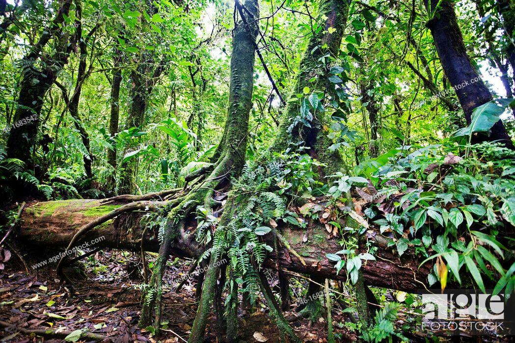 Stock Photo: Monteverde Cloud Forest Reserve, Reserva Santa Elena, Costa Rica.