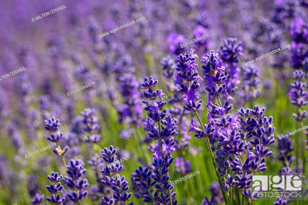 Stock Photo: Field of lavender flowers (lavandula angustifolia).