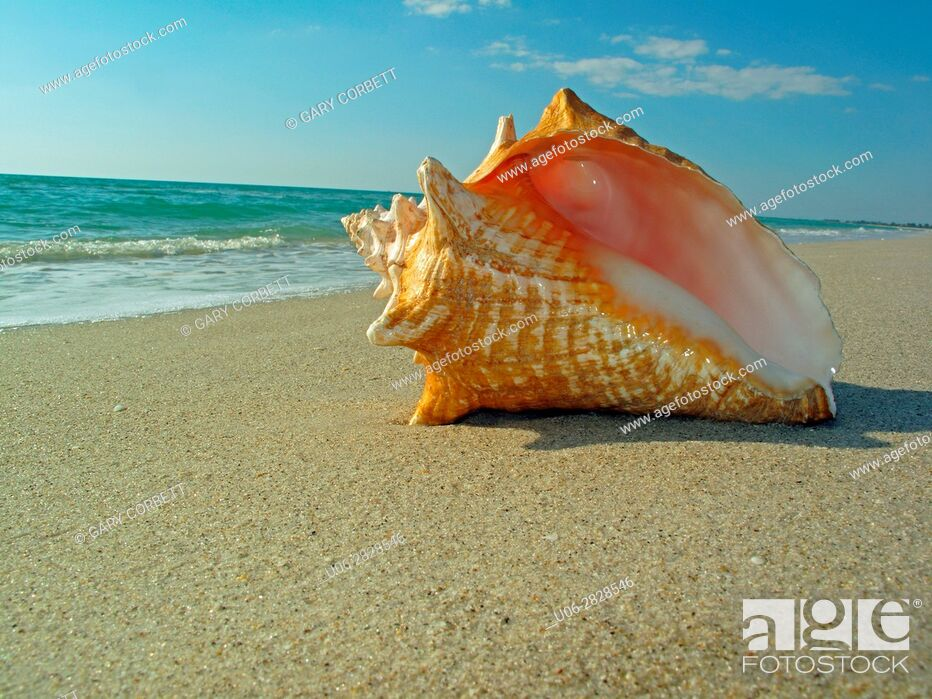 Stock Photo: Queen conch shell on beach.