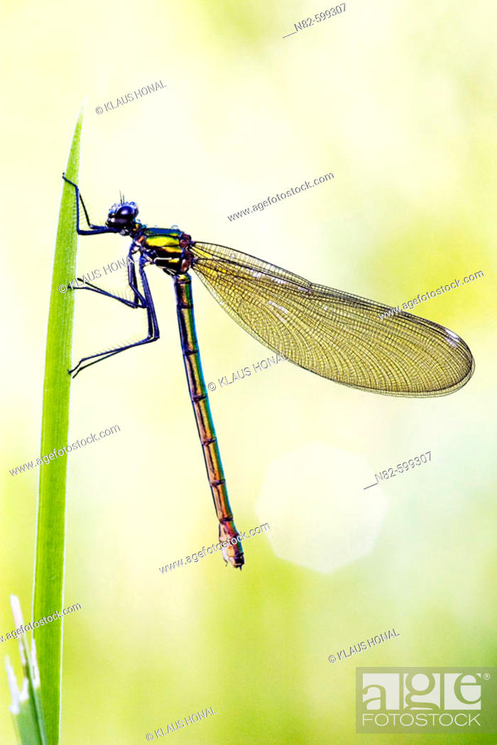 Stock Photo: Banded Demoisell (Calopteryx splendens) female on leaf.
