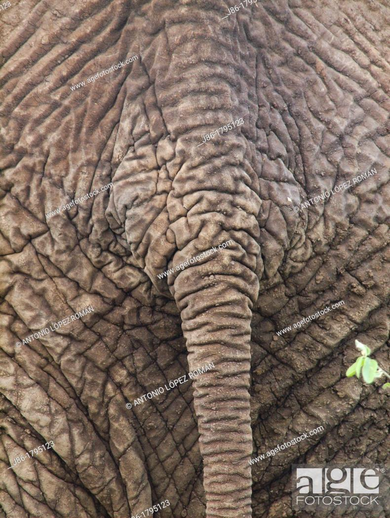Stock Photo: Close up of the backside of an african elephant Loxodonta africana in the Tarangire National Park  Tanzania.