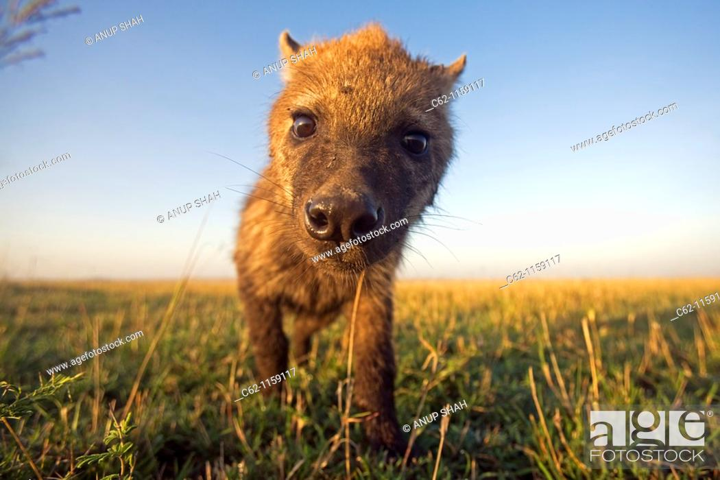 Stock Photo: Spotted hyena (Crocuta crocuta) youngster approaching with curiosity -wide angle perspective-, Maasai Mara National Reserve, Kenya.